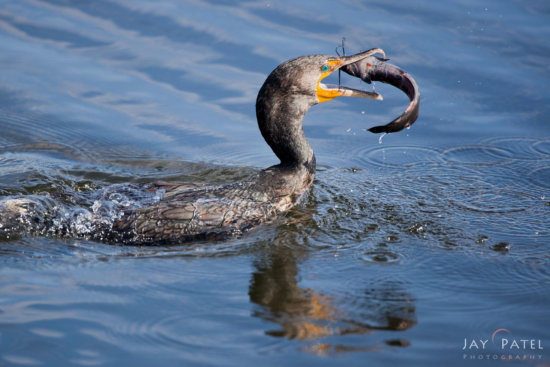 Wildlife photography composition with action from Everglades National Park, Florida by Jay Patel.