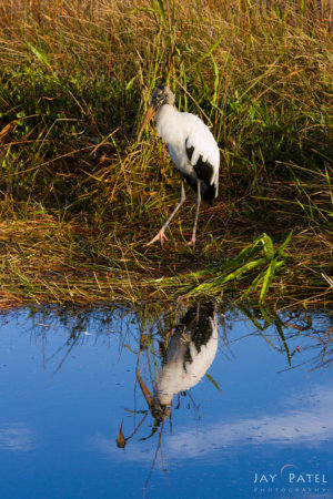 Example of unappealing wildlife photography composition, Everglades National Park, Florida by Jay Patel