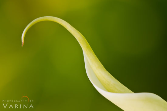 Macro Photography of Calla Lily from California by Varina Patel