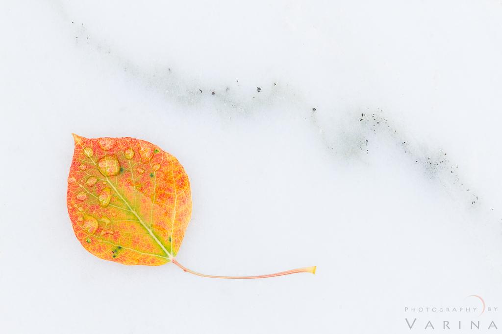 Aspen Leaf on Marble, Colorado