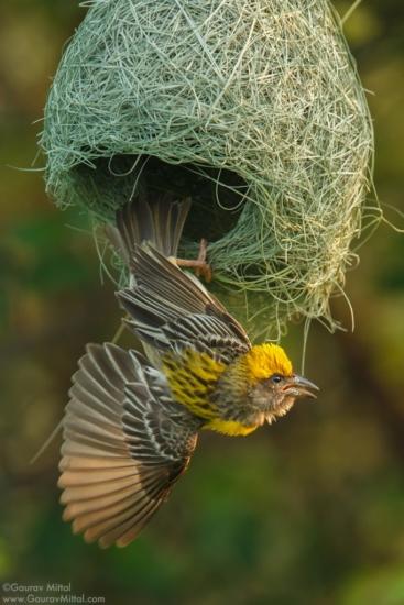 Bird photo of a Weaver Bird by Gaurav Mittal