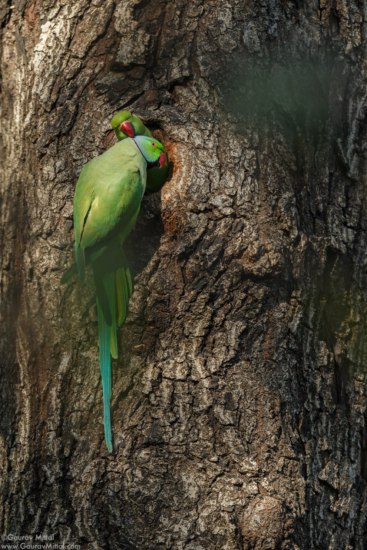 Wildlife photography composition at eye level with the Rose-ringed Parakeet by Gaurav Mittal