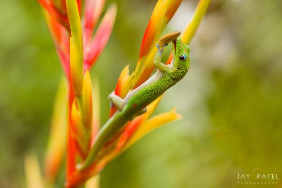 Macro Photography Example of Hawaiian Gecko
