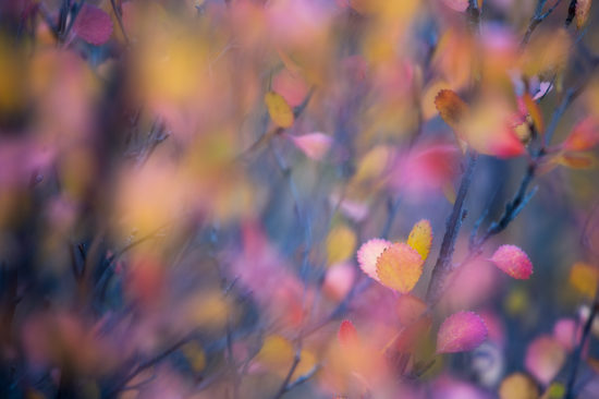 Small, colorful willow leaves in the fall by Sarah Marino.