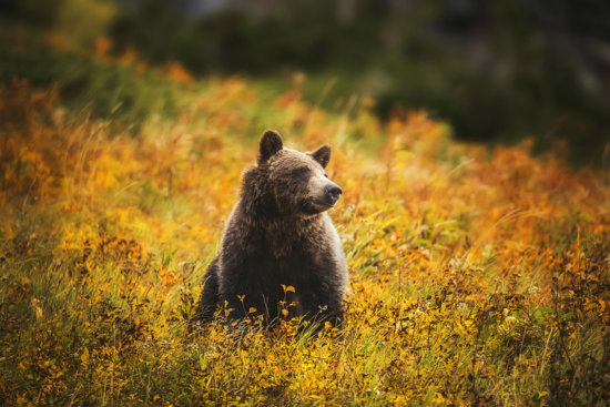 A grizzly bear sits in the autumn shrubs in Glacier National Park, Montana.
