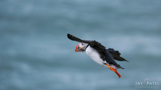 Puffin captured using continuous focus setting by Jay Patel