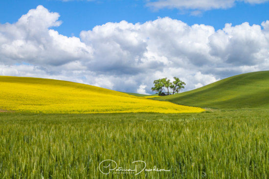 Canola and wheat fields merge to highlight a shaded barn on a beautiful day in the Palouse, Washington.