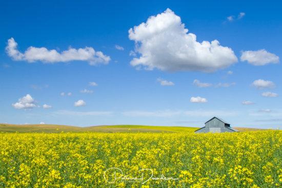 Canola Field & Barn