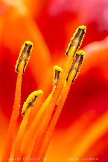 macro photo of orange lily stamen