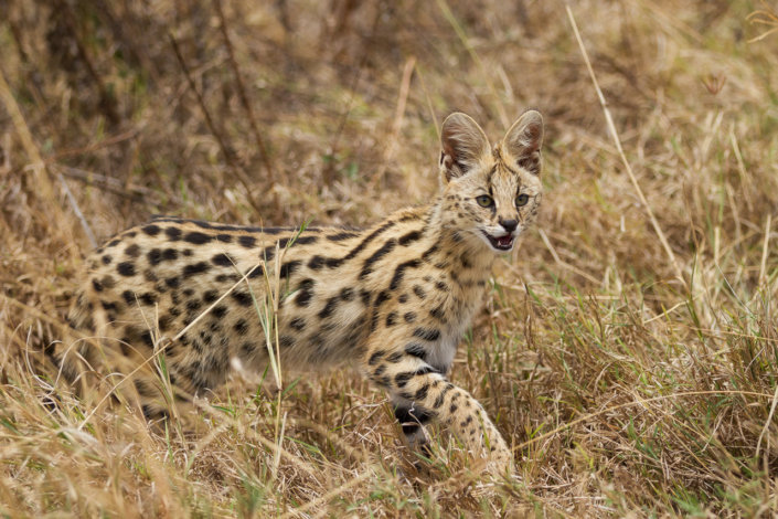 Serval in Ngorongoro Crater, Tanzania by Anne McKinnell