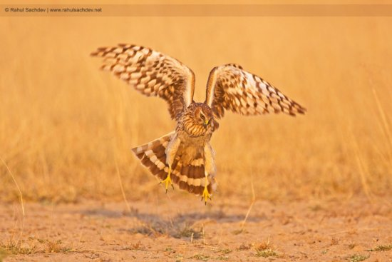 Bird Photography of Landing Harrier by Rahul Sachdev