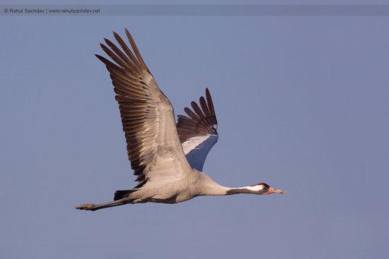 Birds in Flight: Crane with a Sky Background