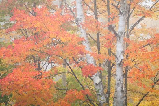Fall photography of Aspen trees