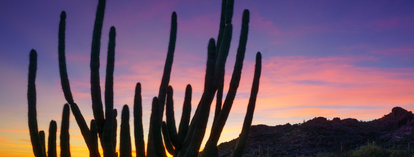 Organ Pipe Cactus at Sunset by Anne McKinnell