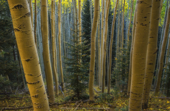 Getting ready to Photograph Fall Colors - Aspens in Autumn