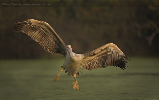 Bird Photography of Pelican in Flight