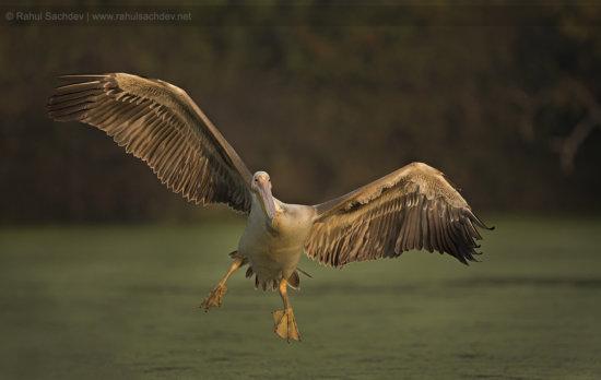 Bird Photography of Pelican in Flight