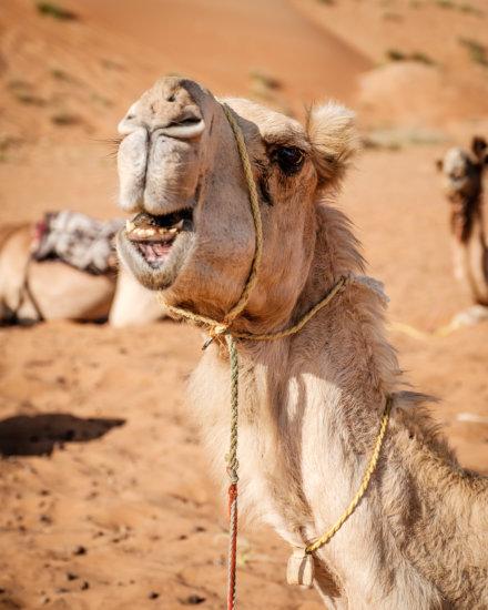 Camel, Sharqiya Sands (Wahiba Sands), Oman