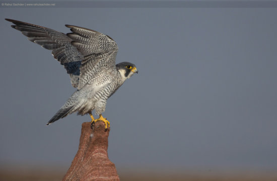 Bird Photography or a peregrine attempting to take-off by Rahul Sachdev