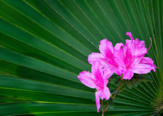 Azalea on Palmetto Leaf complementary colors