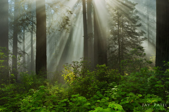 Sunbeams created in harsh light and fog in Redwood Forest National Park