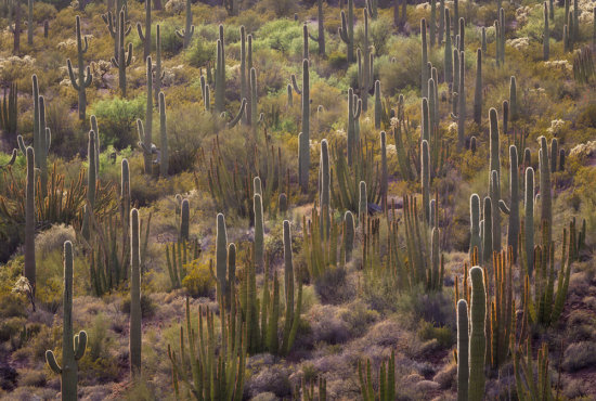 A cactus garden in Organ Pipe National Monument