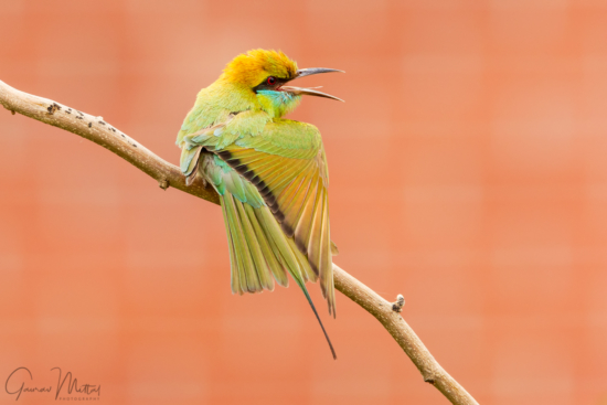 Canon 7D Mark II / 150-600mm/ 1/80sec / f/8.0 / Green Bee-eater