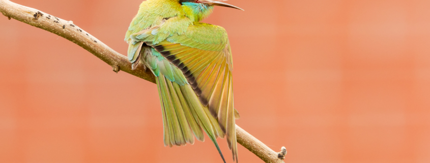 Canon 7D Mark II, 1/80sec, f/8.0, ISO 800 Green Bee-eater