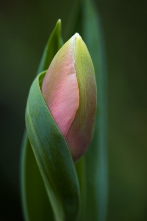 Macro Photography of Tulip by Anne Belmont