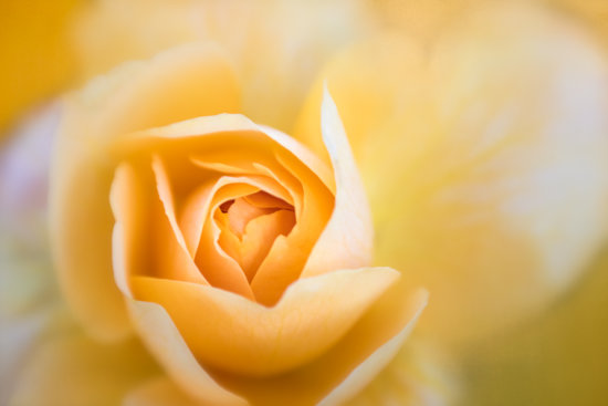 Rose captured in soft light using Lensbaby Sweet Optics by Anne Belmont
