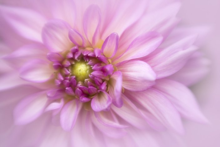 Macro Photography of Soft Dahlia by Anne Belmont