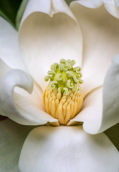 Sweet Bay Magnolia by Anne Belmont