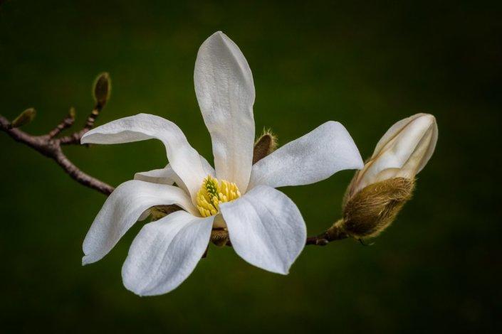 Star Magnolia by Anne Belmont
