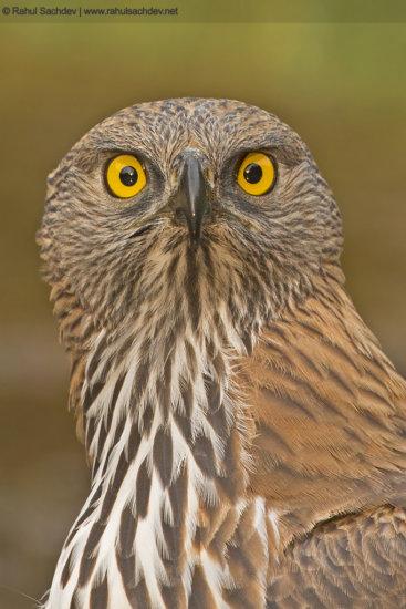 Owl by Rahul Sachdev