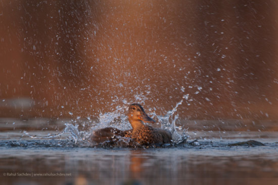 Fast shutter speed for photographing birds by Rahul Sachdev