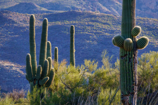 Saguaro Cactus at Tortilla Flat, Arizona by Anne McKinnell