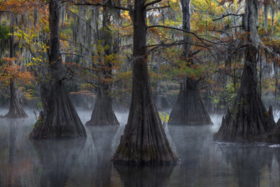 bald cypress trees swamps fog mist mood drama arrangement composition