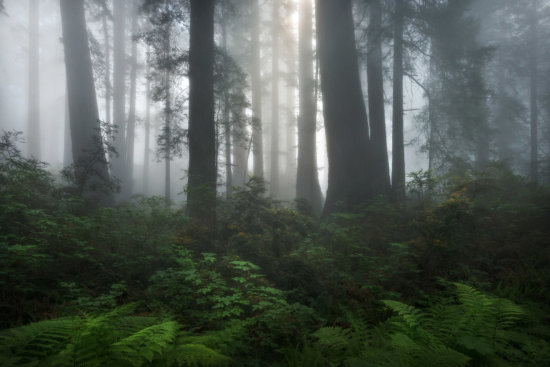 Del Note redwoods California coastal forest fog mood drama composition