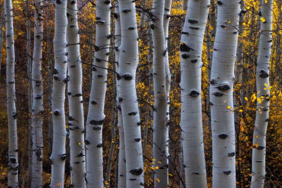 Colorado Fall Colors aspen trees arrangement composition