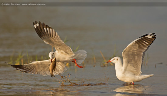 Bird photography with fast shutter speed to freeze motion by Rahul Sachdev