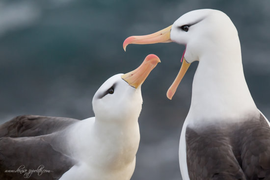 Pleasing head angle for bird photography composition at Falkland Island by Denise Ippolito