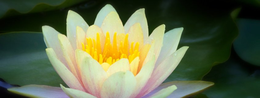 Flower photography of a waterlilies by Anne Belmont