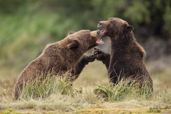 Photographing Bears in Alaska