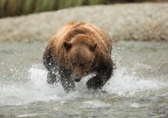 Photographing Bears in Action, Kodiak Alaska