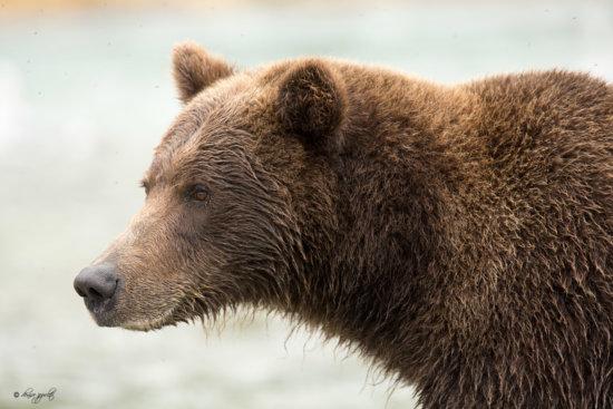 Alaskan Brown Bear in Kodiak