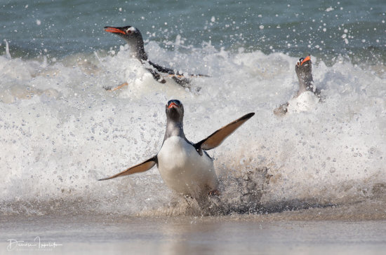 Photographing birds in action at Falkland Island