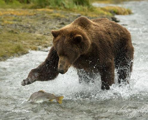 Photographing bears in action in Kodiak Alaska