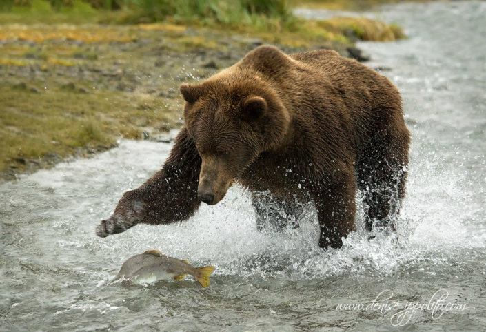 Photographing bears in action in Kodiak Alaska