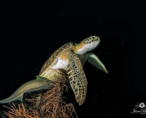 Underwater photography of Turtle.