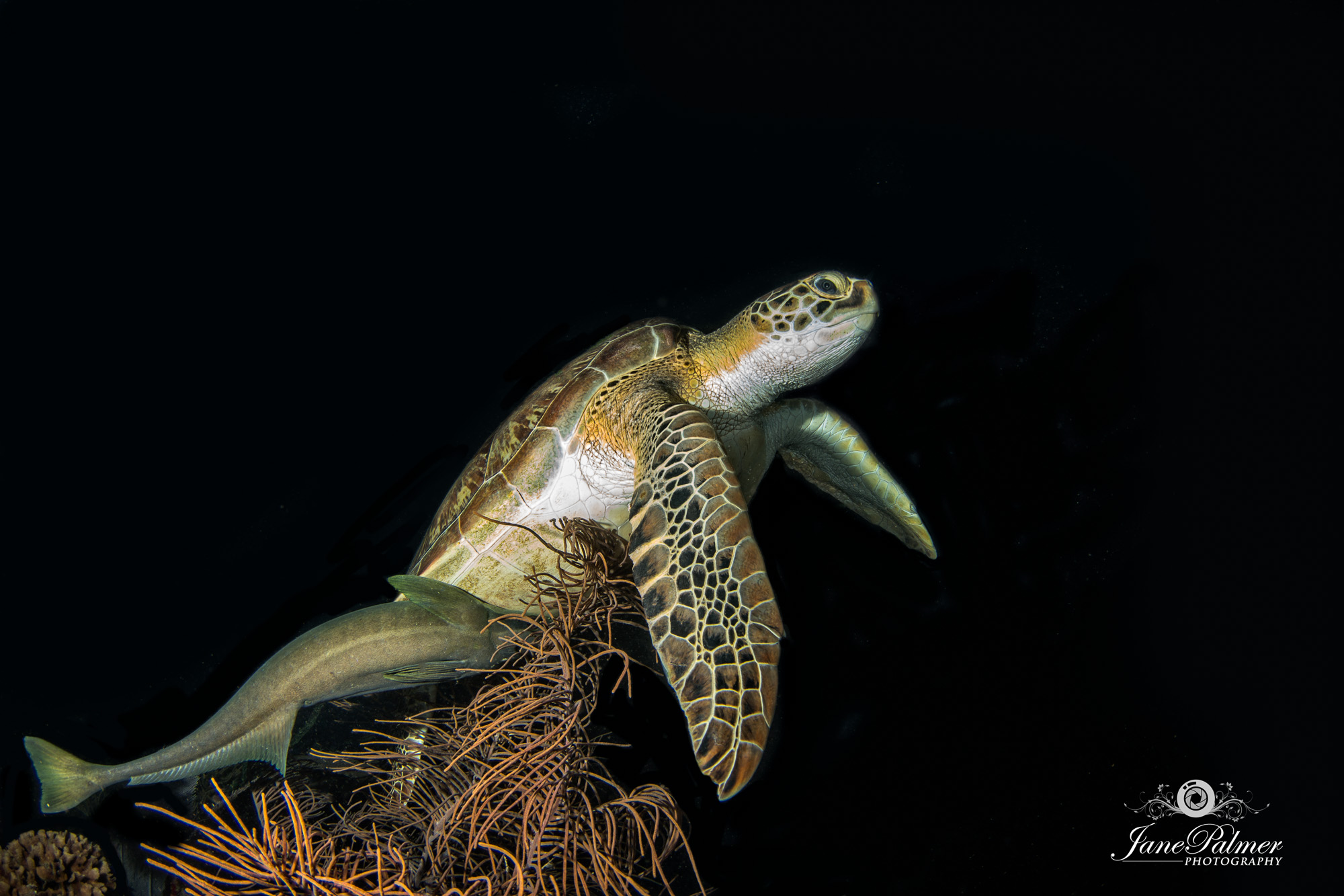 Underwater photography of Turtle.